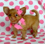 Diamond Chihuahua